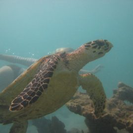 Caribbean Sailing Charters | Snorkel with turtles in British Virgin Islands