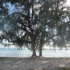 Caribbean Sailing Charters | Beautiful tree