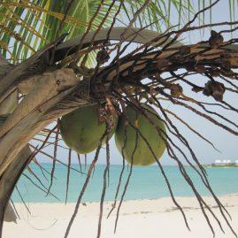 Caribbean Sailing Charters | Caribbean coconuts